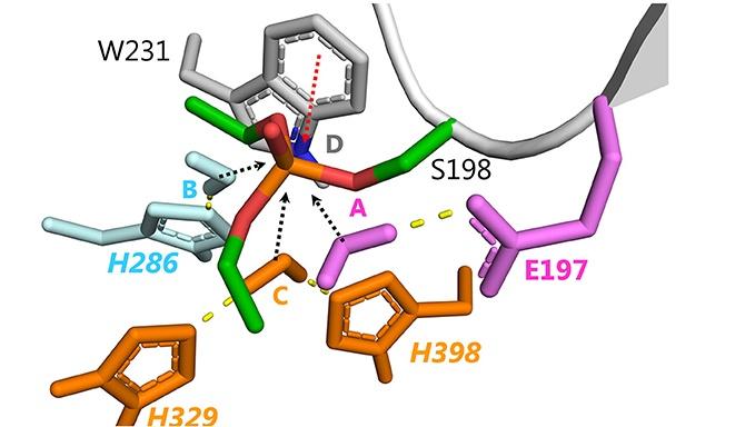 Optimization of Cholinesterase-Based Catalytic Bioscavengers Against Organophosphorus Agents